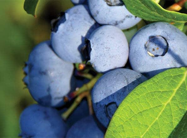 https://he.rivulis.com/wp-content/uploads/2019/05/Blueberries_bg-595x439.jpg